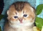 Британские котята золотого окраса